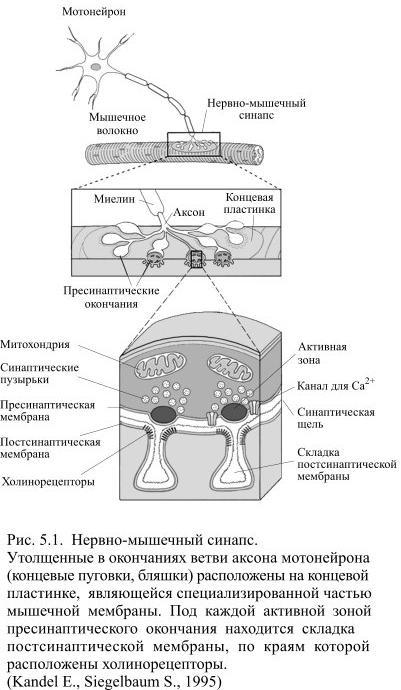 Передача возбуждения в синапсах