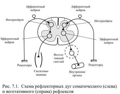 Вегетативно рефлекторная дуга схема