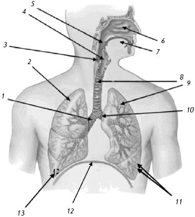 Органы грудной клетки; вид спереди